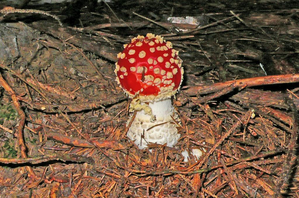 Fliegenpilz roter fliegenpilz amanita muscaria for Fliegen hausmittel