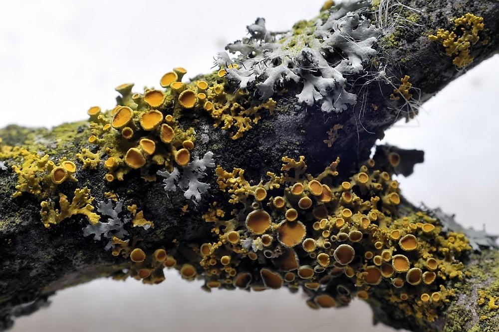 gew hnliche gelbflechte gelbe baumflechte xanthoria parietina. Black Bedroom Furniture Sets. Home Design Ideas