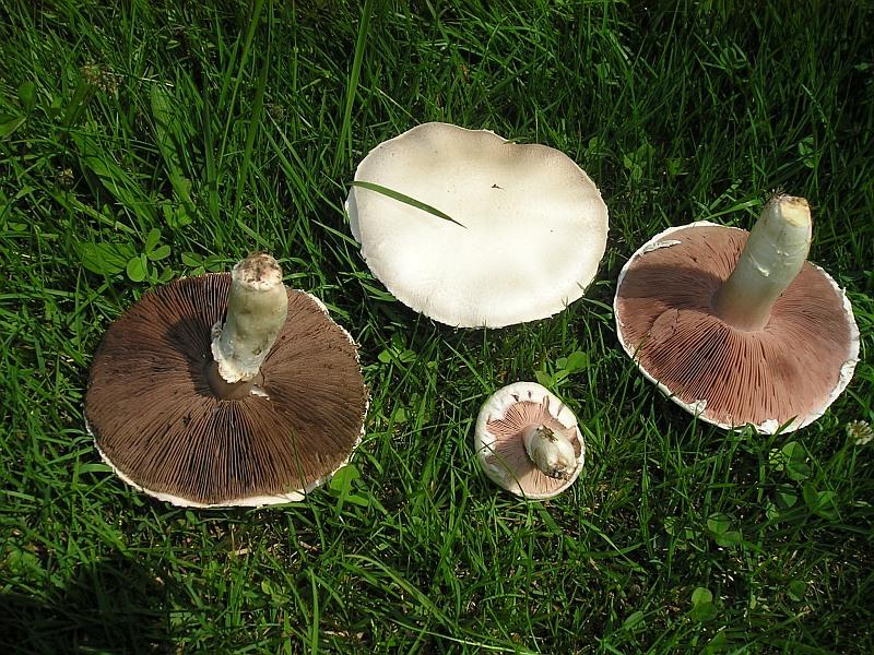 Wiesenchampions Pilze